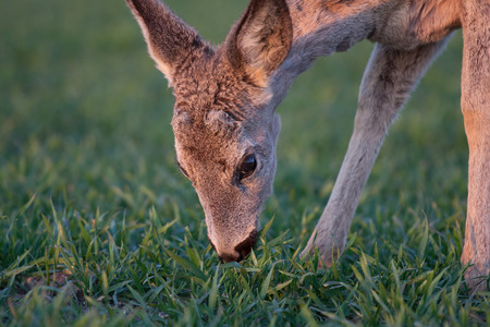 Young deer eating the grass at the morning photo