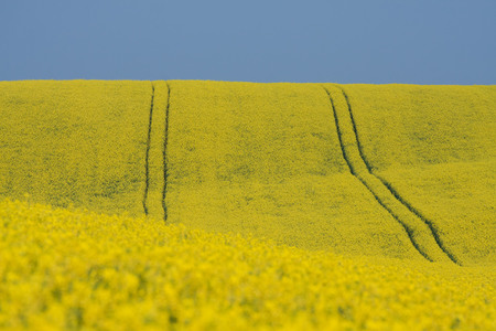 rapaseed: Large view at the yellow colza field