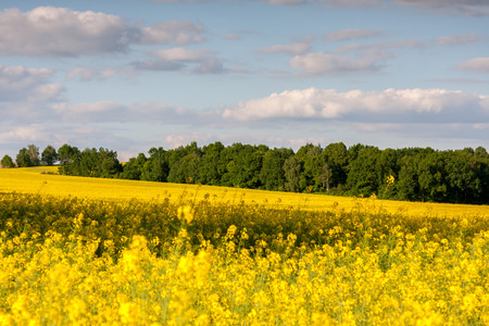 coleseed: Large view at the yellow colza field