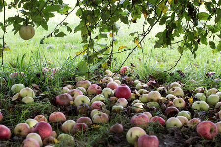 putrefied: Rotten apples on the green grass in the garden
