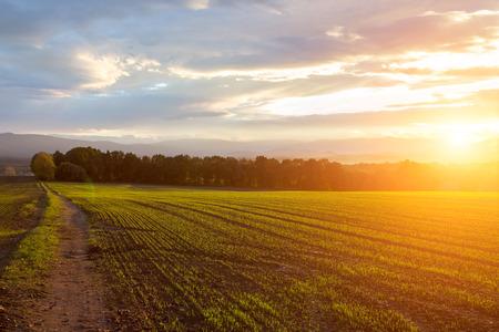 cosecha de trigo: Hermosa puesta de sol sobre el gran campo verde