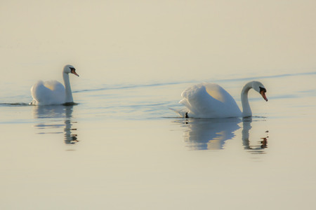 The swans swimming in the lake autumn photo