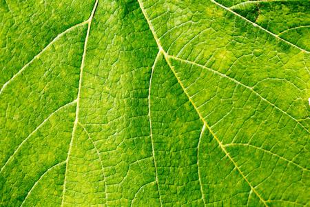 grapes: Hoja de uva individual en el cierre macro