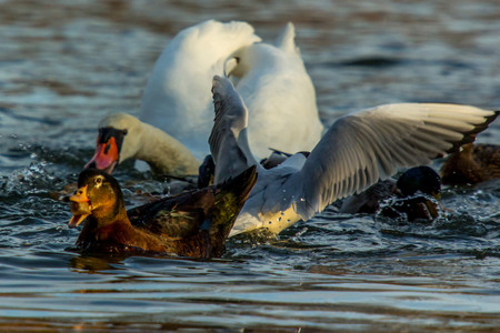 The swan and the ducks fighting for a piece of bread photo