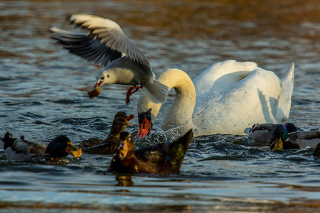 food fight: The swan and the ducks fighting for a piece of bread Stock Photo