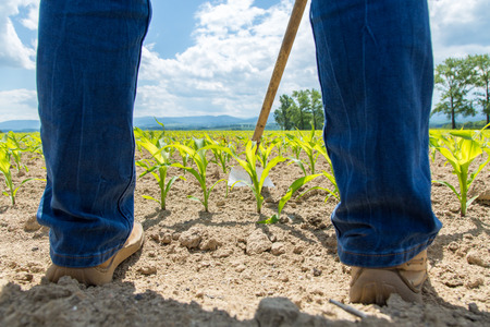 The worker hoeing the young corn field Standard-Bild