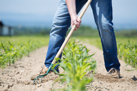 hoeing: The worker hoeing the young corn field Stock Photo