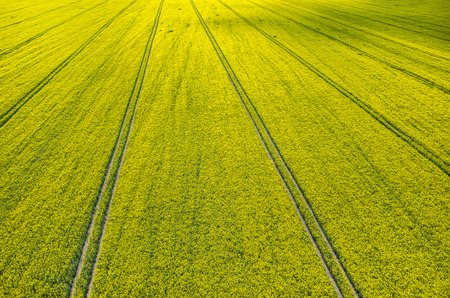 coleseed: Aerial view on the large colza field