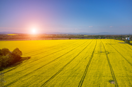 colza: Sunset above the large  yellow colza field Stock Photo