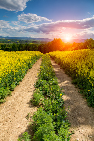 colza: Sunset above the large yellow colza field