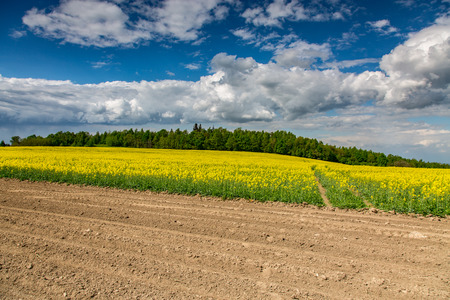colza: Large view on the yellow colza field Stock Photo