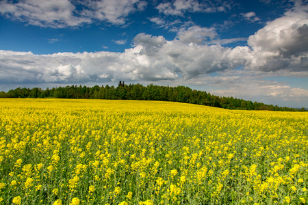 coleseed: Large view on the yellow colza field Stock Photo
