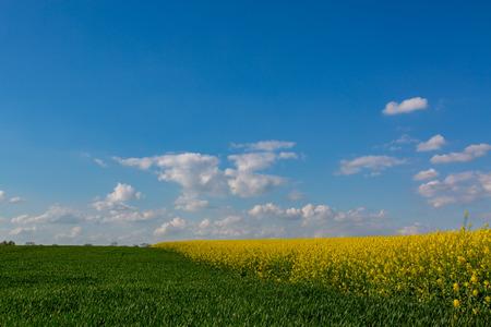 colza: Gran vista sobre el campo de la colza amarilla