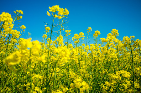 coleseed: Close view on the yellow colza field