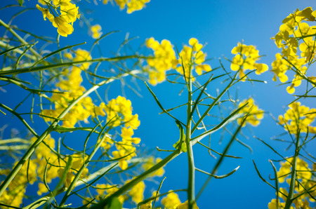 colza: Close view on the yellow colza field