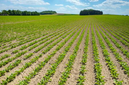 azucar: Gran vista sobre el campo de remolacha azucarera joven verde Foto de archivo