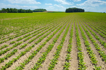 Große Aussicht auf das grüne junge Zuckerrübenfeld
