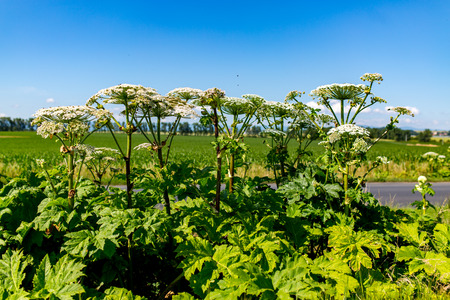 parsnip: Large view on the dangerous plant Parsnip Sosnowski Heracleum sosnowskyi