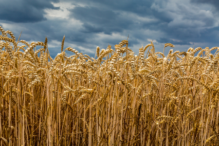 wheat grain: Bad weather over the large wheat field
