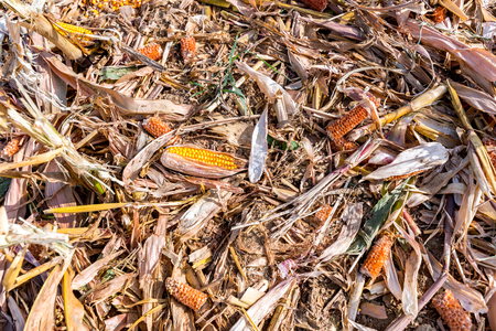 maiz: Maíz Destruido tendido en el campo de maíz