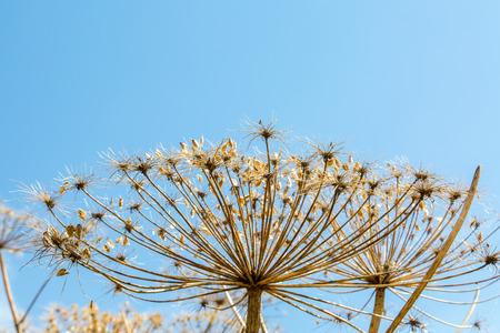 parsnip: Close view on the dangerous plant Parsnip Sosnowski Heracleum sosnowskyi