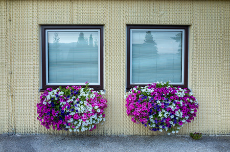 violet residential: Close view on the windows decorated with petunias