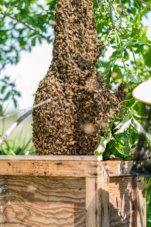 swarm: Close view on the swarm of bees on the tree Stock Photo