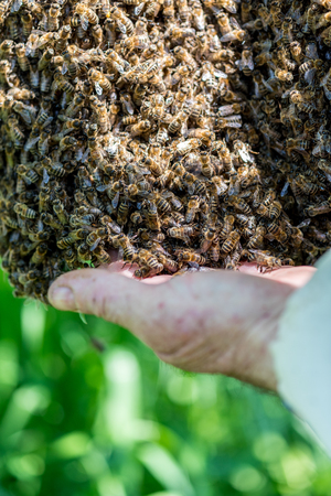 swarm: Close view on the beemaster checking the swarm of bees Stock Photo