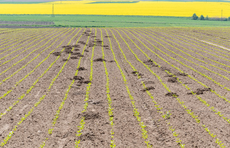 The young rape field destroyed by moles