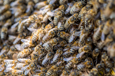 swarm: Close view on the swarm of bees on the beehive