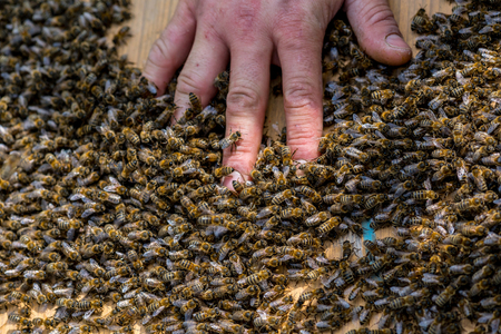 swarm: Close view on the hand of beekeeper in the swarm of bees on the beehive