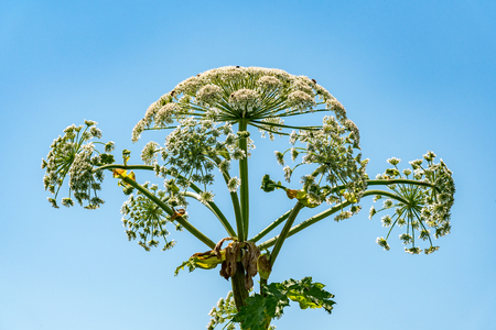Large view on the dangerous plant Parsnip Sosnowski (Heracleum sosnowskyi)
