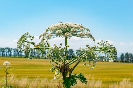 Large view on the dangerous plant Parsnip Sosnowski (Heracleum sosnowskyi)