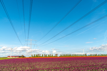 Large view on the modern high powerlines on the tulip field Stock Photo