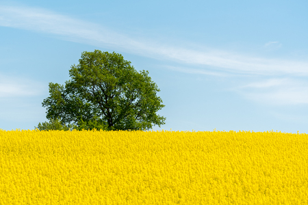 Large view on the yellow colza field Imagens
