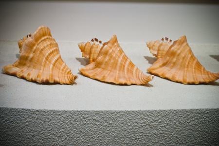 Three orange nautilus sea shells on the shelve white with background photo