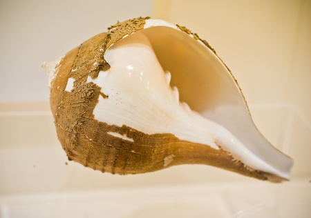 nautilus sea shell with sand or clay covering photo