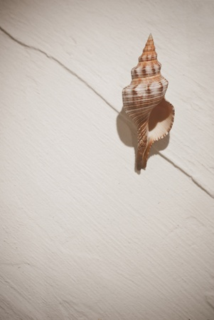Beautiful nautilus sea shell on the white wall background