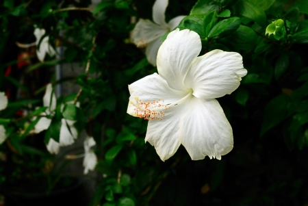 china rose: White beauty china rose Stock Photo