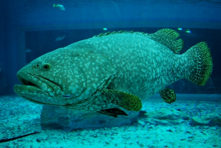 Giant fish - enormous fish photo