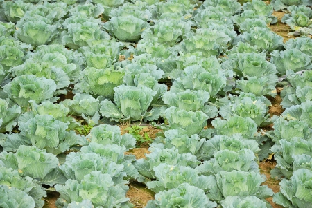 Vegetable - Cabbage Field -gardening - Field of Cabbage - Green cabbage farm Stock Photo