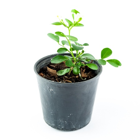 Home plant in pot isolated on white background photo