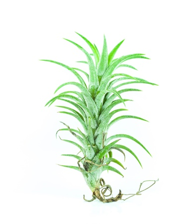 Tillandsia isolated - Bromelia on white background