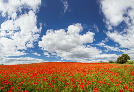 Red poppy in the fields of ukraine Stock Photo