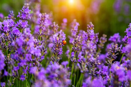 Beautiful lavender fields on a sunny day. Moldova Foto de archivo