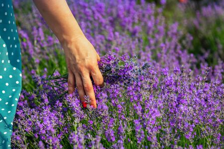 Beautiful lavender fields on a sunny day. Girl leads her hand over lavender.Moldova