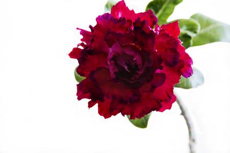 Flower adenium obesum Seventh Heaven blooms. Close up. Isolated on white background. Reklamní fotografie