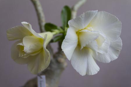 Yellow flower adenium obesum blooms. Close up. Stock Photo