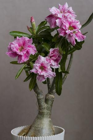 Pink flower adenium obesum Siam Country Rose blooms. Close up.