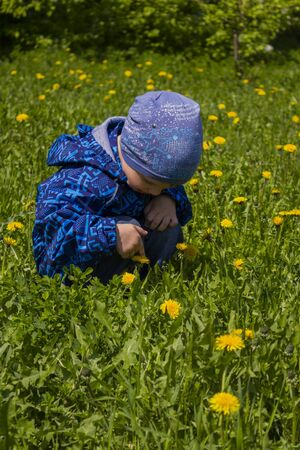 The child considers, touches yellow dandelions. Summer time